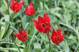 La Tulipe d'Agen