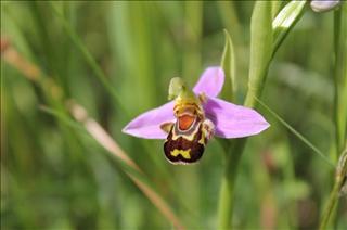 Le Petit Monde de Rodié : Ophrys Abeille (Ophrys Apifera)